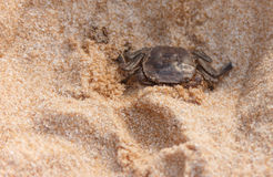 Close-up crab on the sand beach, detail portrait in natural habitat, trying to hide in the hole Royalty Free Stock Images