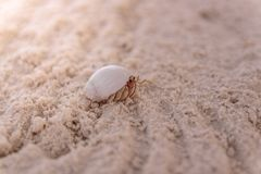 Close Up of a crab in the seashell walking on clear white sand royalty free stock photography