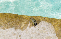 Close up of crab at swimming pool edge Stock Images