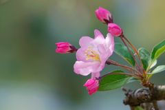 Crabapple flower and buds. The close-up of crabapple flower and buds. Scientific name: Malus micromalus stock photography