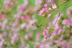 Crabapple flower and buds. The close-up of crabapple flower and buds. Scientific name: Malus micromalus Royalty Free Stock Photos