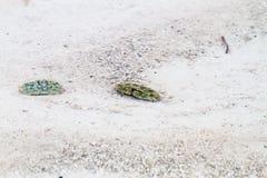 Crabs in transparent waters of Zanzibar. Close-up of crabs in the transparent waters of of the Indian Ocean spice island of Zanzibar Unguja, Tanzania stock photography