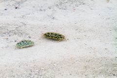 Crabs in transparent waters of Zanzibar. Close-up of crabs in the transparent waters of of the Indian Ocean spice island of Zanzibar Unguja, Tanzania royalty free stock images