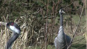Two crane birds feeding in the grass. Close up of cranes feeding in the long grass stock video