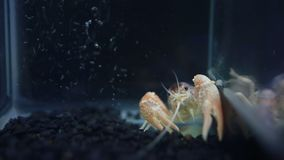 Close up of crayfish Lobster Claws in fish tank stock footage