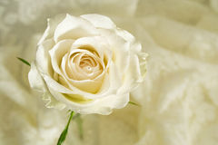 Rose cream colored royalty free stock images