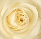 Close up cream rose Royalty Free Stock Photos