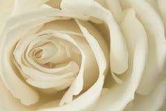 Close up cream rose Stock Images