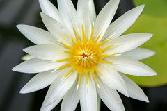 Close up of Cream white water lily flower in Wellington Stock Images