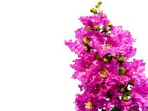 Close up crepe myrtle flower. Purple flowers isolated white background. stock photo