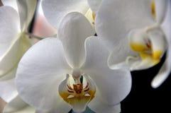 Close up crescente da orquídea da flor bonita da flor Imagem de Stock
