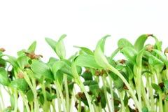 Close up crescente da planta do broto do feno-grego Imagem de Stock Royalty Free