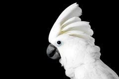 Close-up Crested Cockatoo alba, Umbrella, Indonesia, isolated on Black Background. Close-up Crested Cockatoo White alba, Umbrella, Funny Looking in Camera stock photography