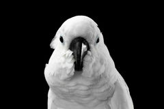 Close-up Crested Cockatoo alba, Umbrella, Indonesia, isolated on Black Background. Close-up Crested Cockatoo White alba, Umbrella, Funny Looking in Camera Royalty Free Stock Images