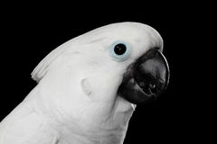 Close-up Crested Cockatoo alba, Umbrella, Indonesia, isolated on Black Background. Close-up Crested Cockatoo White alba, Umbrella, Looking in Camera, Indonesia Stock Photography