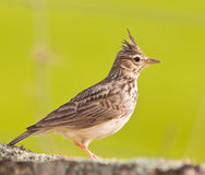 Close-up of a Crested Lark Stock Images