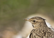 Close-up of a Crested lark (Galerida cristata). An image of a close-up of a crested lark stock image