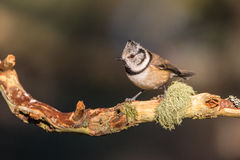 Close up of a Crested Tit Lophophanes cristatus Royalty Free Stock Photos