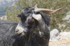 Close up of a Cretian goat in the mountains stock photos
