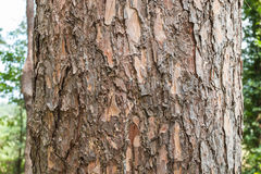 close up of Crimean pine tree Royalty Free Stock Photo
