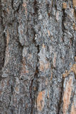 close up of Crimean pine tree Stock Images