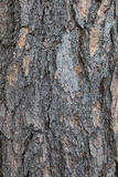 close up of Crimean pine tree Royalty Free Stock Photos