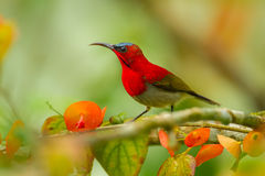 Close up of Crimson Sunbird Royalty Free Stock Images