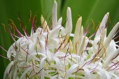 Grand crinum lily crinum asiaticum. Close up of a crinum lily crinum asiaticum in bloom royalty free stock photos