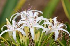 Grand crinum lily crinum asiaticum. Close up of a crinum lily crinum asiaticum in bloom royalty free stock photo