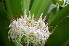 Grand crinum lily crinum asiaticum. Close up of a crinum lily crinum asiaticum in bloom royalty free stock images