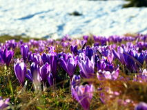 Close-up of croccus vernus with snow in background Stock Photography