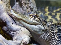 Close-up of Crocodile Royalty Free Stock Photography