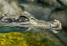 Close-up of Crocodile Eye Stock Photo