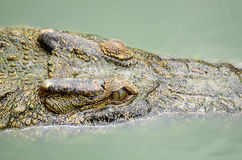 Close up Crocodile Royalty Free Stock Images