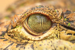 Close up of the Crocodile eye Stock Photography