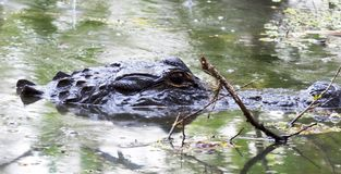 Crocodile in Florida Swamp. This close up of a crocodile in the Florida swamp shows only its head; but the coldness of the eye and the pure size of the head is stock photo