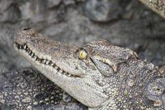 Close-up a crocodile head Stock Photos