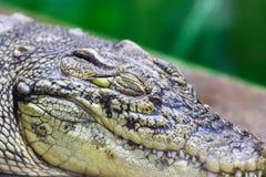 Close-up of a crocodile head with closed eyes. Sleeping Alligator Head stock image