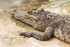 Close-up on crocodile. Lying in farm, Thailand Royalty Free Stock Photography