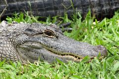 Close up of crocodile lying in grass royalty free stock image