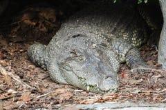 Close up of crocodile stock photo