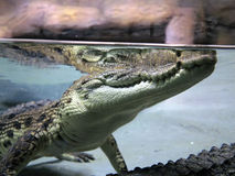 Close-up of a crocodile in natural environment, view from water Royalty Free Stock Photography