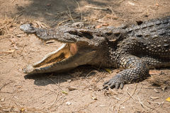 Close up crocodile open mouth waiting for food. Royalty Free Stock Photography