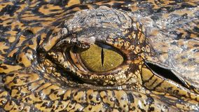 Close-up of Crocodile`s Eye