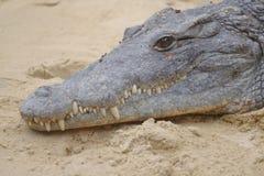 Close up of a crocodile Stock Photos