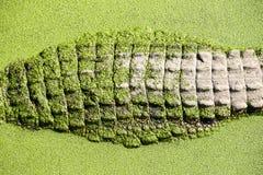 Close up crocodile skin Royalty Free Stock Photography
