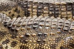 Close up of crocodile skin. In fram Stock Image