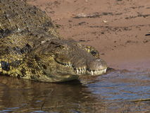 Crocodile. Close up of Crocodile sunning itself on banks of Chobe River Stock Image