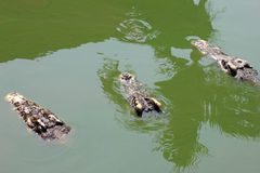 Close-up crocodiles Royalty Free Stock Images