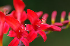 Close up of Crocosmia Lucifer flowers. Shallow focus close up of the fiery red flowers of Crocosmia Lucifer Stock Photography